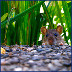 ネズミの行動の特徴