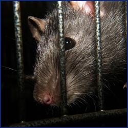 ネズミを殺さずに家から追い出す方法とは?