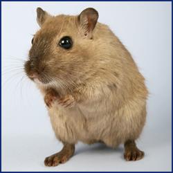 家に出るネズミの種類とその見分け方とは?