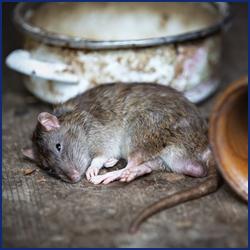 ネズミが嫌いな場所とは?