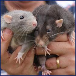 飲食店のネズミ被害は専門の駆除業者に依頼すべき理由