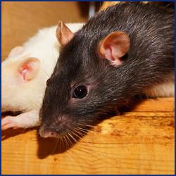 ネズミの危険性について