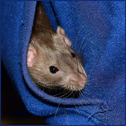 ネズミが嫌いなニオイや音