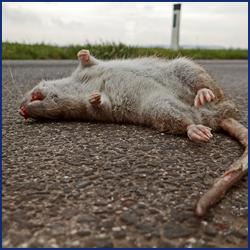 超音波はネズミ駆除に有効?